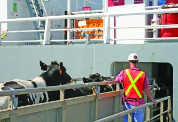 Cattle loading at the Port of Wilmington, DE