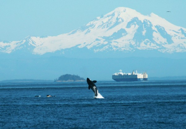 Dwindling numbers of orcas are seen in the waters off Vancouver Island.