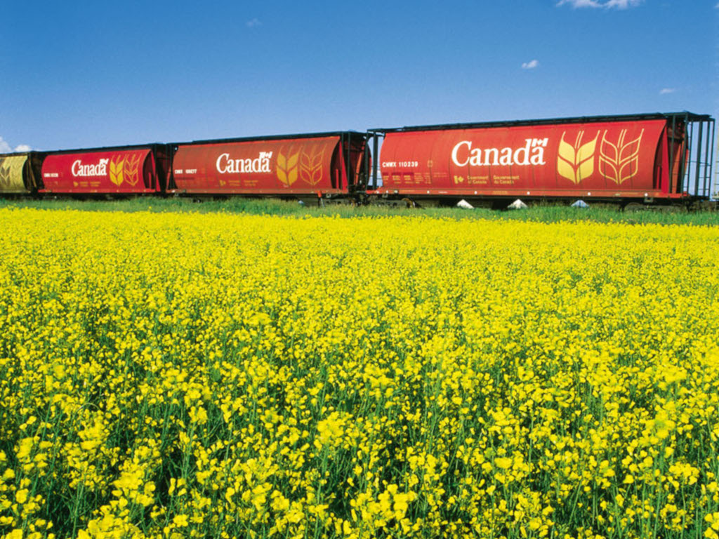 Canada's vibrant canola industry under attack from China | AJOT COM