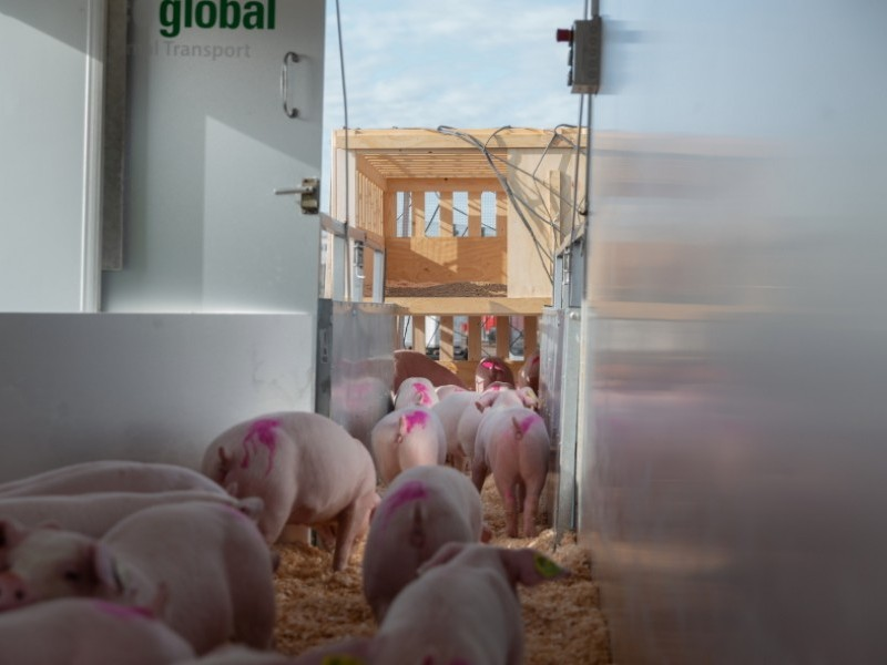 Intradco Global transports 1,030 purebred breeding pigs from the UK to China