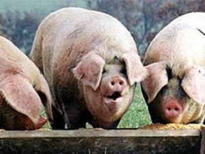 https://www.ajot.com/images/uploads/article/pigs-at-the-trough.jpg