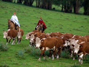 https://www.ajot.com/images/uploads/article/uruguay-cattle-drive.jpg