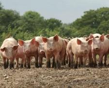 Vietnam plans to cut U.S. pork tariffs as trade tensions ease