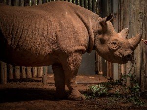 Eric the rhino embarks on 10,000 mile mission to find love