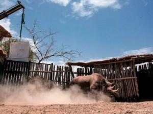 ACS revels in rhino relocation