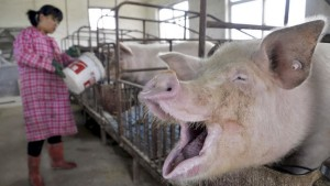 China's back in the market for hogs