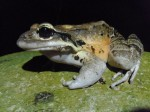 Virgin Atlantic Cargo flies mountain chicken frogs 'home'