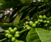 Coffee Production in the Canal Watershed