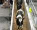 USDA APHIS making a difference in livestock export