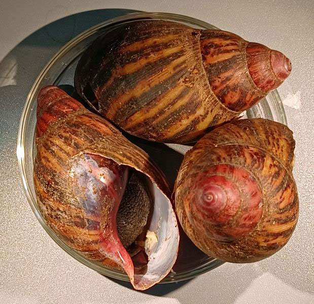These Giant Land Snails were among 15 that were seized in Houston.