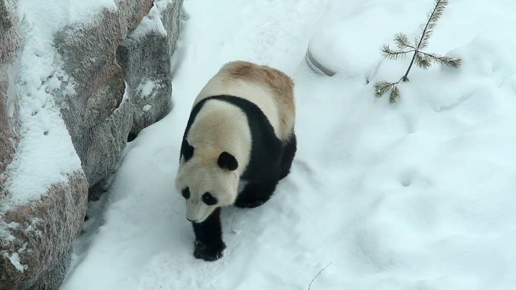 One of the pandas settling in to their new home